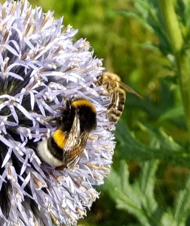 Eine Erdhummel (li.) und eine Hausbiene (re.)